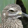 Cape thick-knee-007