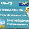 Masked lapwing-001