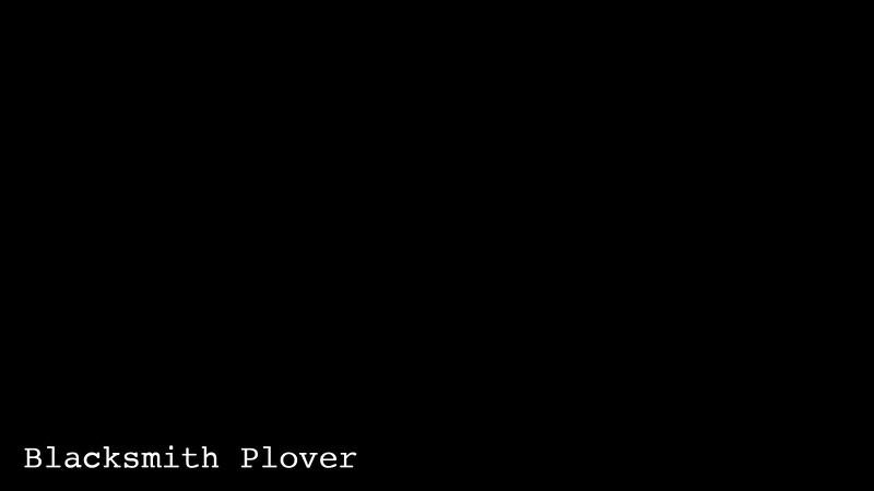 Blacksmith Plover-201
