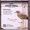 Cape thick-knee-001