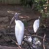 Wood stork-002