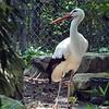 White stork-004