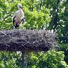 White stork-006