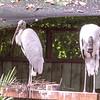 Wood stork-004