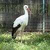 White stork-005