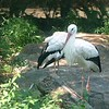 White stork-203