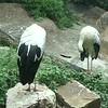 White stork-201