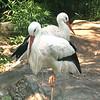 White stork-016
