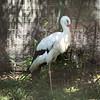 White stork-002