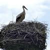 White stork-008