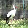White stork-003