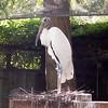 Wood stork-003