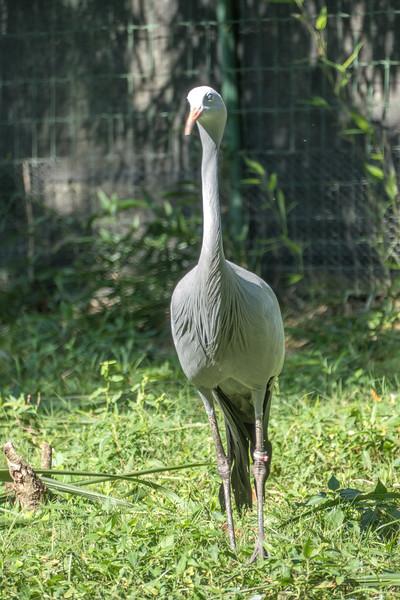 Blue crane-007