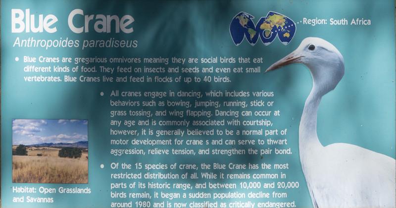 Blue crane-001