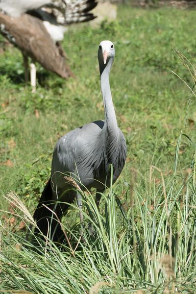 Blue crane-002