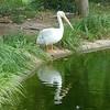 American white pelican-203