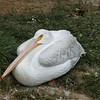 American white pelican-007