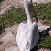 American white pelican-004