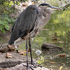 Great blue heron-003