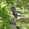 Great blue heron-203