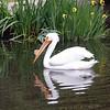 American white pelican-005