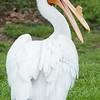 American white pelican-002