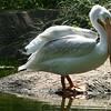 American white pelican-006