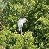 Great blue heron-002