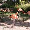 Caribbean flamingo-002