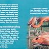 Caribbean flamingo-001