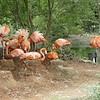 Caribbean flamingo-007