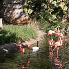 Caribbean flamingo-004