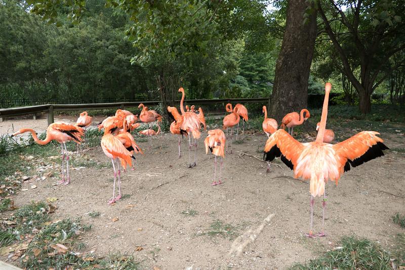 Caribbean flamingo-005