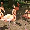 Caribbean flamingo-203