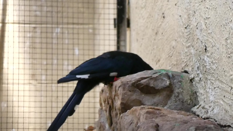 Green wood-hoopoe-201