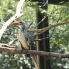 Red billed hornbill-009