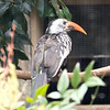 Red billed hornbill-007