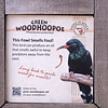 Green wood-hoopoe-002
