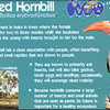 Red billed hornbill-001