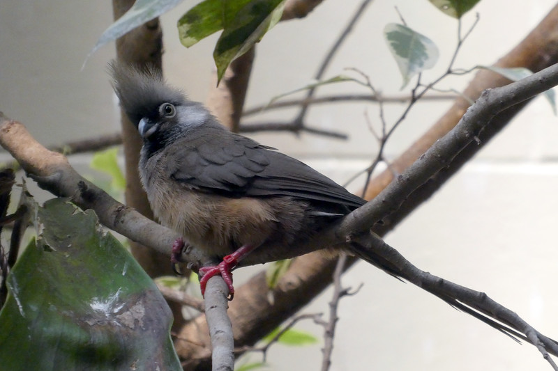 Speckled Mousebird-006