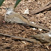 Speckled Mousebird-007