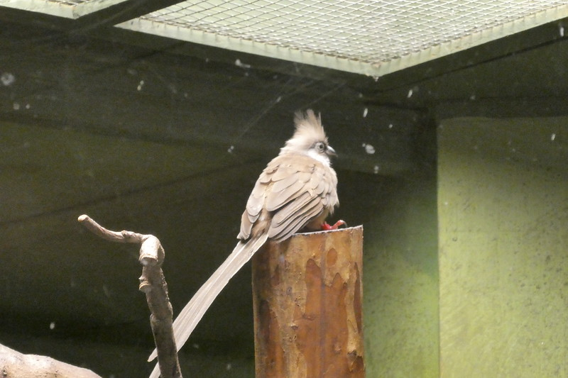 Speckled mousebird-011