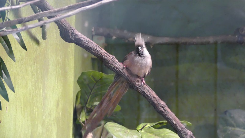 Speckled mousebird-203