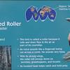 Blue-bellied roller-001