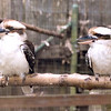 Laughing Kookaburra-002