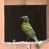 Emerald starling-003
