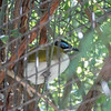 Blue-faced honeyeater-005