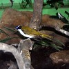 Blue-faced honeyeater-002