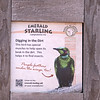 Emerald starling-001