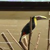 Chestnut-mandibled toucan-005